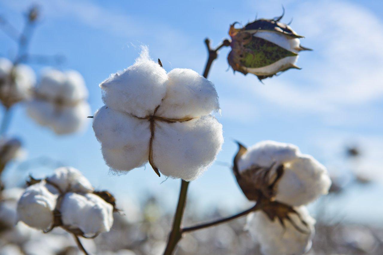 MagMidlands_CottonHarvest_Fitzgerald101-medium